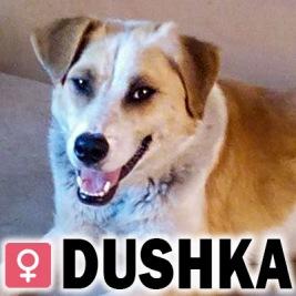 Dushka, 2 år (vaccinerad, steriliserad)