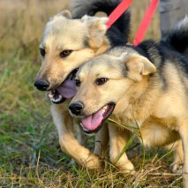 🏠 Kipra och Tiara. Läs mer... (Vaccineras, steriliseras)